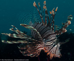 BD-090925-Lembeh-9253929-Pterois-volitans-(Linnaeus.-1758)-[Red-lionfish.-Drakfisk].jpg